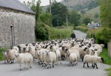 Sheep in Wales DM0386