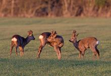 Three  Roe Deer at the end of Winter 3