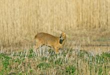 Chinese Water Deer 10