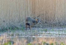 Chinese Water Deer 7