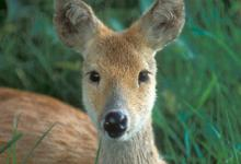 Chinese Water Deer DM0717
