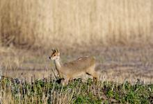 Chinese Water Deer 8