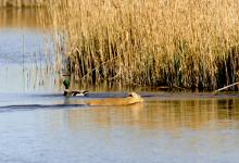 Chinese Water Deer Swiming  2