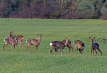 Group of Roe Deer at the end of Winter