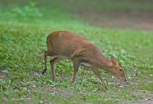 Muntjac Deer DM0659