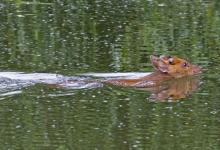 Muntjac Deer Swimming  DM0661