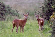 Pair of Young Roe Deer DM1154