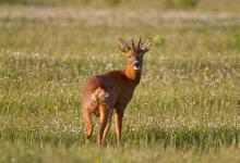 Roe Deer  Buck DM1142