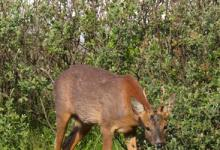 Roe Deer Buck DM1134