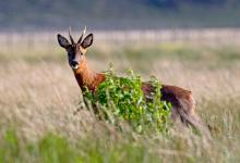 Roe Deer Buck DM1139