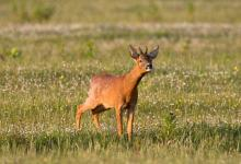 Roe Deer Buck DM1144