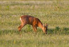 Roe Deer Buck DM1145