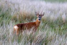 Roe Deer Buck DM1147