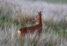 Roe Deer Buck DM1149