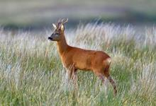 Roe Deer Buck DM1150