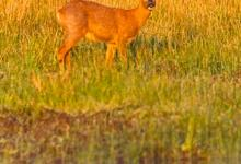 Roe Deer Buck DM1151
