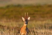 Roe Deer Buck DM1152