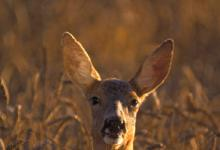 Roe Deer Doe DM0720