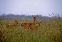Roe Deer Doe and Young DM0696