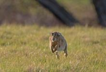 Brown Hare Running DM2042