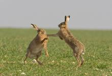 Boxing Brown Hares 2 DM0243