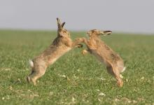 Boxing Brown Hares 3 DM0250