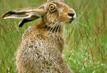 Brown Hare  DM1172