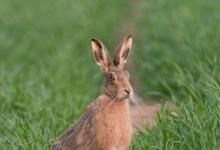 Brown Hare 2 DMO244