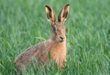 Brown Hare 3 DM0251