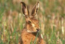 Brown Hare DM1183