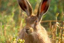 Brown Hare DM1184