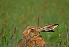 Brown Hare DM1186