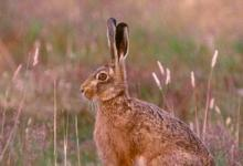 Brown Hare DM1188