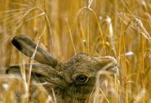 Brown Hare Eating Corn DM1176