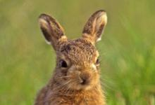 Brown Hare Leveret DM1179