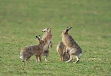 Group of Brown Hares, Islay 5