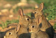 Group of Young Rabbits DM0278