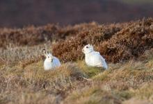 Pair of Mountain or Blue Hares DM0747