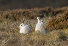 Pair of Mountain or Blue Hares DM0748