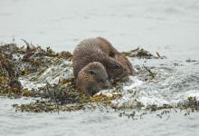 Pair of Otters DM2089