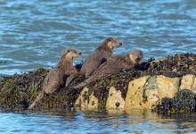 Pair of Otters DM2091