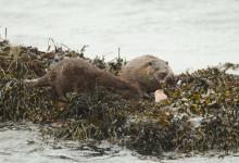 Pair of Otters Feeding DM2092