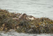 Pair of Otters with a Octopus DM2097