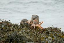 Pair of Otters with a Octopus DM2106