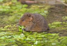 Water Vole DM0370