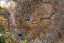 Water Vole DM0577