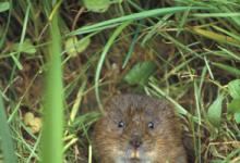 Water Vole DM0607