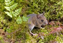 Wood Mouse DM0574