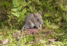 Wood Mouse DM0610