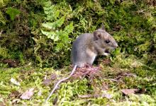 Wood Mouse DM0611